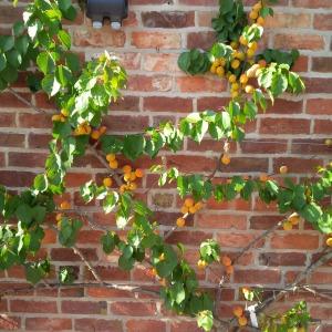 2014-07-24, Apricots