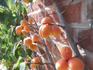 2014-07-24 Courtyard Apricots 1