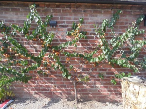 2014-07-24 Coutryard Apricots