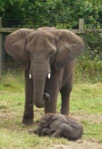 2014-07-31, West Midlands Safari Park (80)
