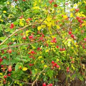 2014-09-03, AWG berries, late Summer
