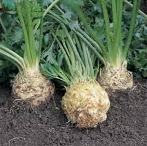Celeriac image