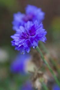 Cornflower in Apley Walled Garden, by Neil Harrison