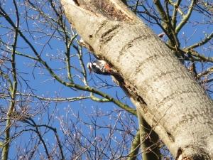 Apley woodpecker