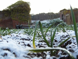 2015-01-15, Garlic in the snow 2