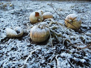 2015-01-15, Pumpkins in the snow