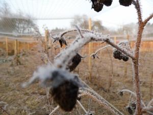2015-01-23, Raspberry in winter