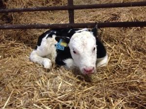 1st calf 2015