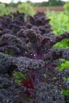Red Boar kale