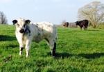 2015-04-23, Best bull calf 2015, British Blue Cross Limousin, sire Earl British Blue