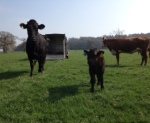 2015-04-23, Calves being let out, Aberdeen Angus