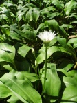 Wild garlic leaf & flower