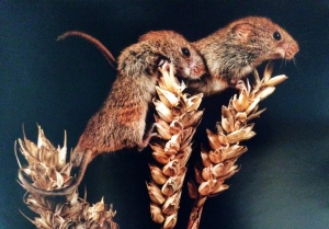 Harvest Mice by Stephen Barber ©, winner of the Animals category