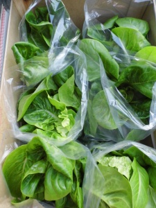 2015-04-25, Little gem lettuces ready to go to Apley Farm Shop