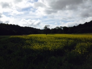 Oilseed Rape in Lower Severn field, planted last September & will be harvested in August 2015