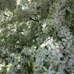 2015-05-16, Harrington blossom 2 (640x640)