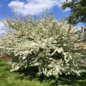 2015-05-16, Harrington blossom 3 (640x640)