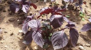 Perilla lettuces