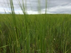 2015-05-26, field of green barley (640x480)