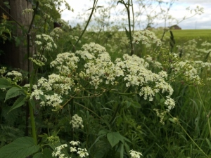 2015-05-26, hedgerows of cow parsley (640x480)
