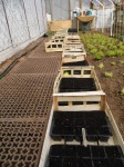600 pumpkins sown