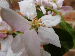 Apple blossom in old paddock near the garden
