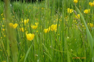 Buttercups on the banks of the River Severn