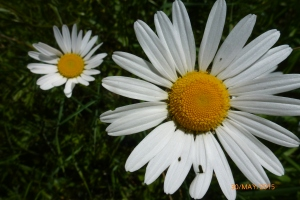 Apley Estate daisies in May