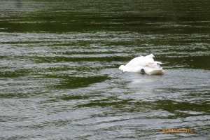 Swan fishing on the River Severn