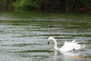 Swan on River Severn