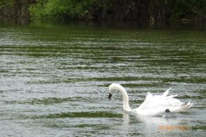 Swan on River Severn
