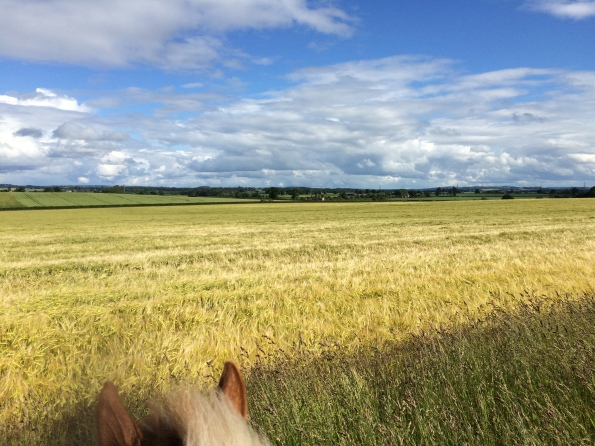 Ripening barley, out riding Scout