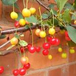 2015-07-15, Morello cherries