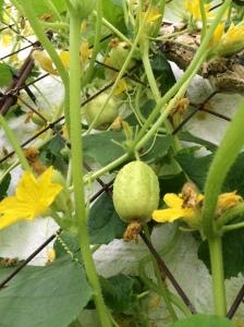 2015-07-30, Crystal lemons cucumbers, not cuca-melons