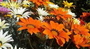 2015-06-16, AFS APC orange flowers