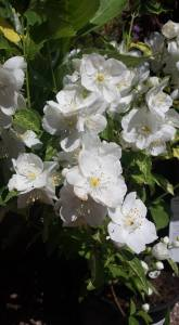 2015-06-16, AFS APC pretty white flowers