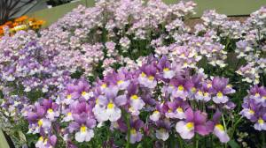 2015-06-16, AFS APC small purple flowers