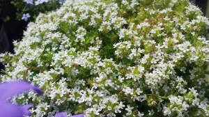 2015-06-16, AFS APC white flowers