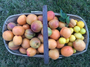 Homegrown apricots