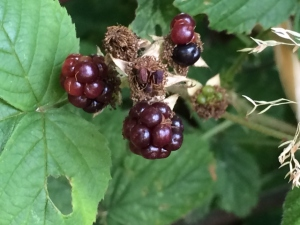 2015-08-12, first 2015 Apley blackberries (640x480) (2)
