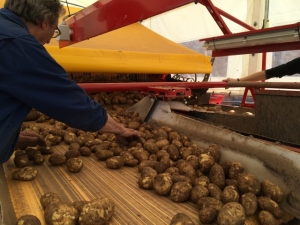 2015-08-12, Potato sorting (1)