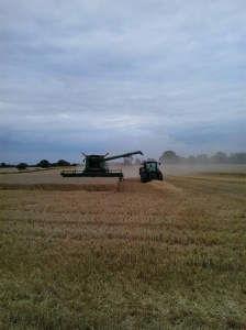 Harvesting Apley wheat