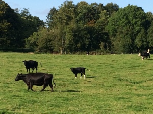 2015-09-06, Apley cattle - calves bigger