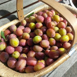 2015-09-06, Trug basket of Apley plums