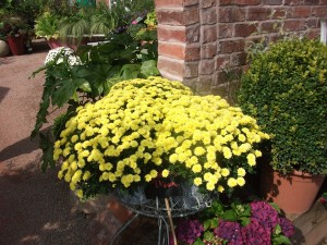 Apley Plant Centre Chrysanthemums
