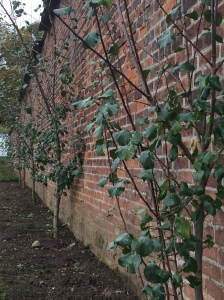 Plum trees against wall