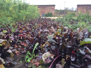 2015-11-14, AWG progress photos - red spinach