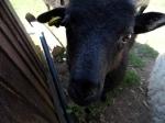 2015-07-31, Black sheep 3