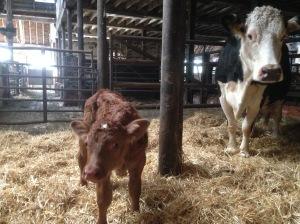 2015-12-01, Bonus calf