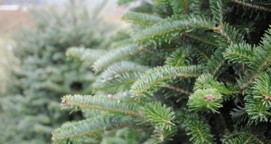2015-12-14, Real Christmas trees for sale